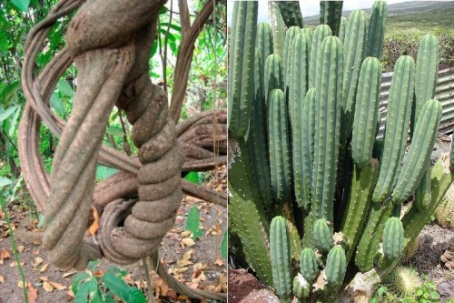 Ayahuasca vine and San Pedro cactus. (Image credits: Xewer Madar, & Forest and Kim Starr).