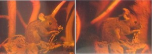 Photographs of a holographic mouse taken from two angles (Image credit: Georg-Johann Lay).